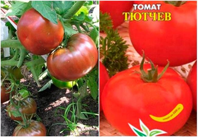 томат-«Тютчев»-фото