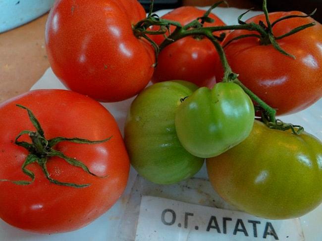 томат-агата-фото
