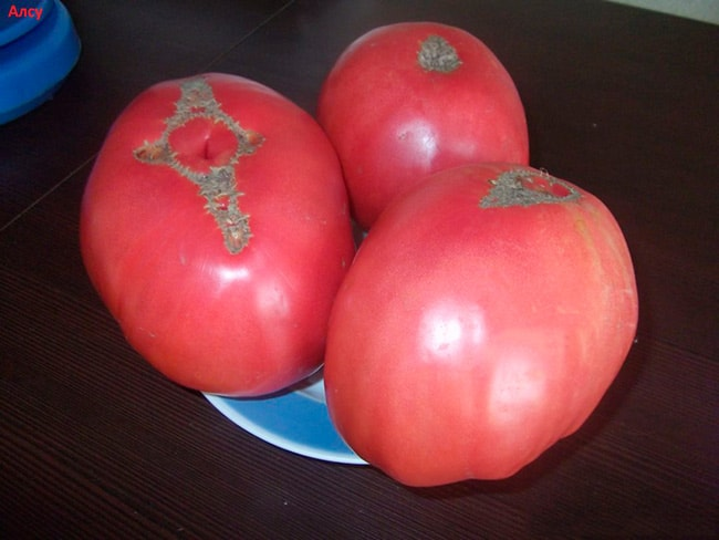 томат-алсу-фото