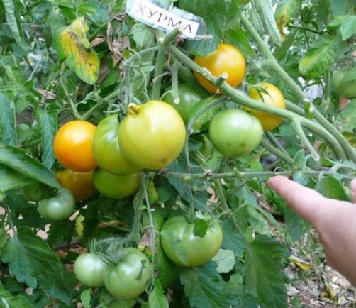 томат хурма куст-фото