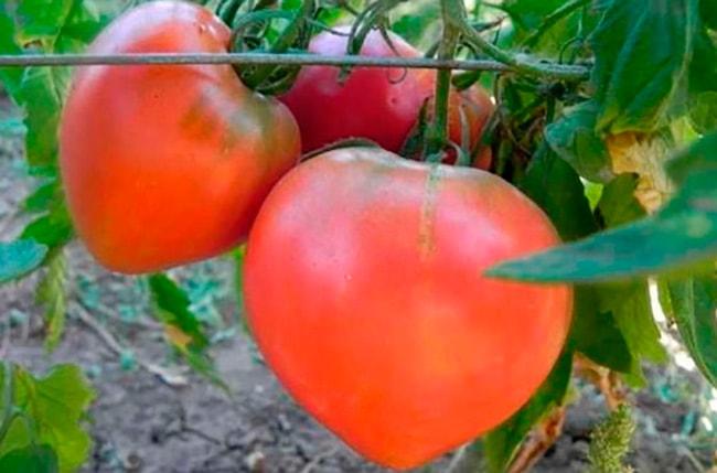 томат-любимый-праздник-фото