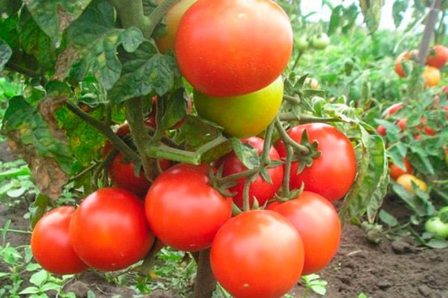 томат-невский-фото