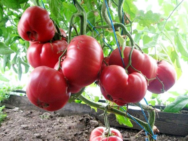 томат-розовый-мед-фото