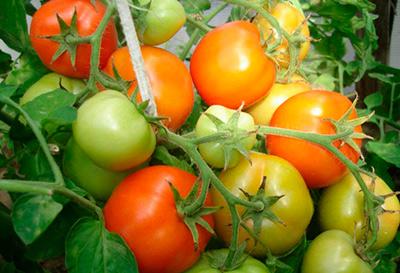 томат-санька-фото