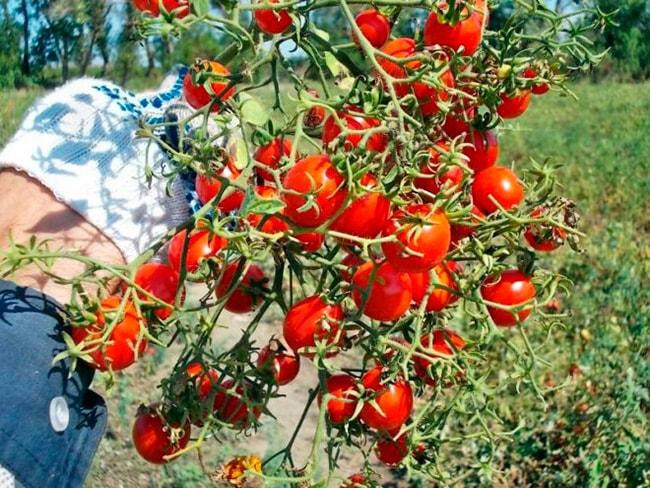 томат-сладкая-гроздь-фото