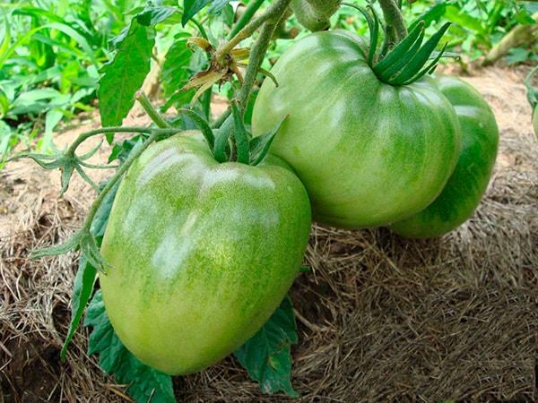 томат-вельможа-зеленый-фото