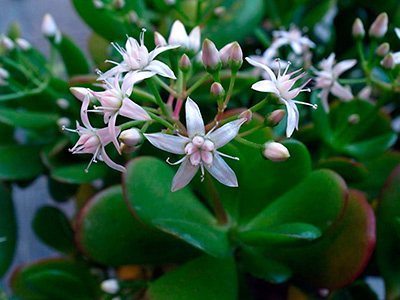 цветок-денежного-дерева-фото