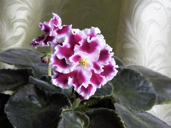 цветок-сорта-сенполий-амадеус-фото