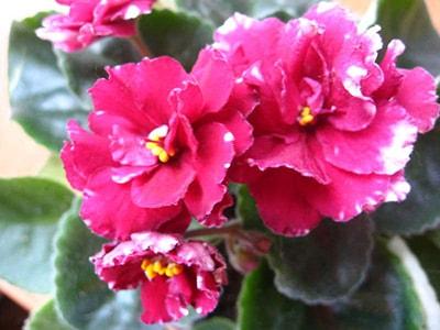 цветы-фиалки-Маджента-фото