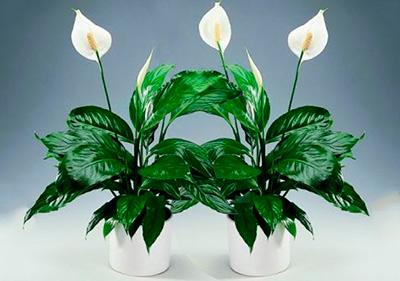 цветы-спатифиллиума-фото