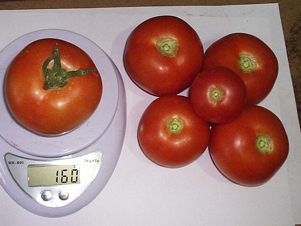 урожай-томатов-катя-фото