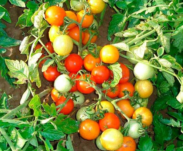 в-открытом-грунте-помидор-пиноккио-фото