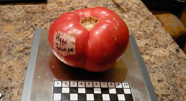 вес-помидор-чудо-земли-фото
