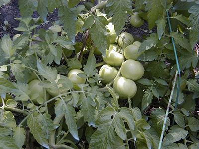 зеленые-помидоры-сорта-санька-фото
