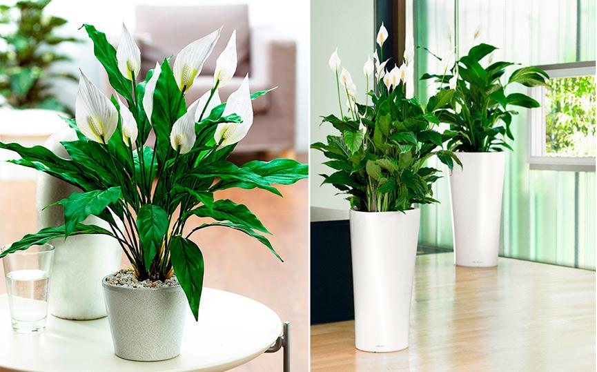 Женское счастье домашний цветок как ухаживать в домашних условиях 158