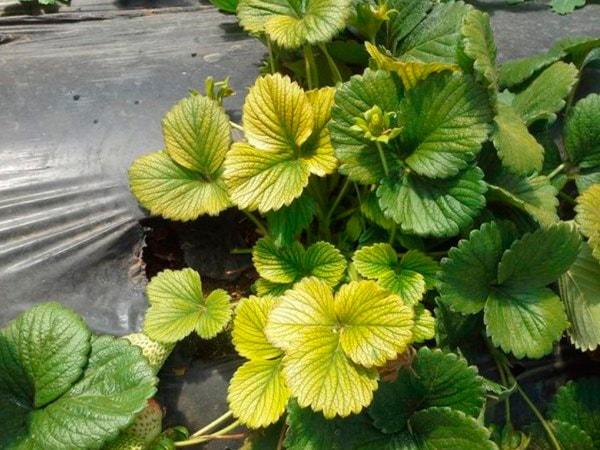 Краевое-пожелтение-листьев-клубники-фото