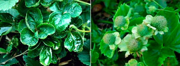Позеленение-лепестков-клубники-фото