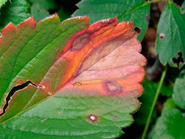 Угловатая-или-коричневая-пятнистость-клубники-фото
