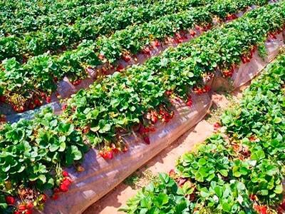борная-кислота-и-урожайность-клубники-фото