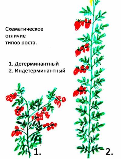 детерминантные-помидоры-фото