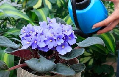 how-often-water-violet-photo