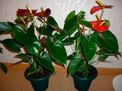 листья-антуриума-фото