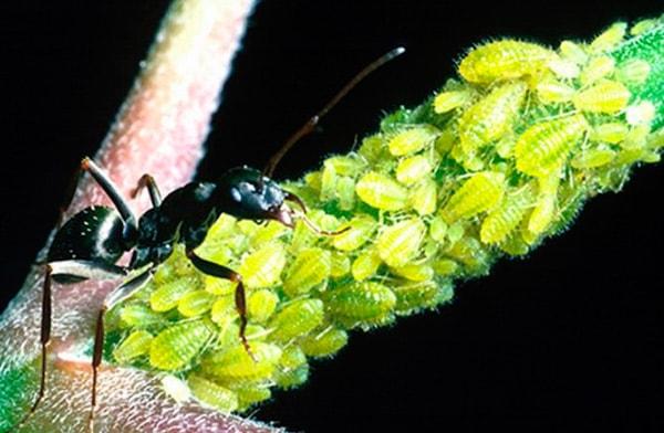 муравьи-на-клубнике-фото