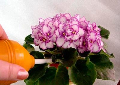 watering-violet-winter-photo