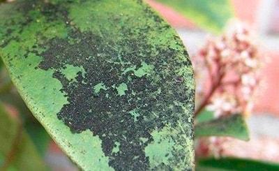 сажистый-грибок-на-замиокулькасе-фото