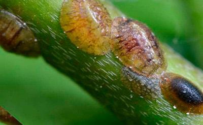 щитовки-на-замиокулькасе-фото