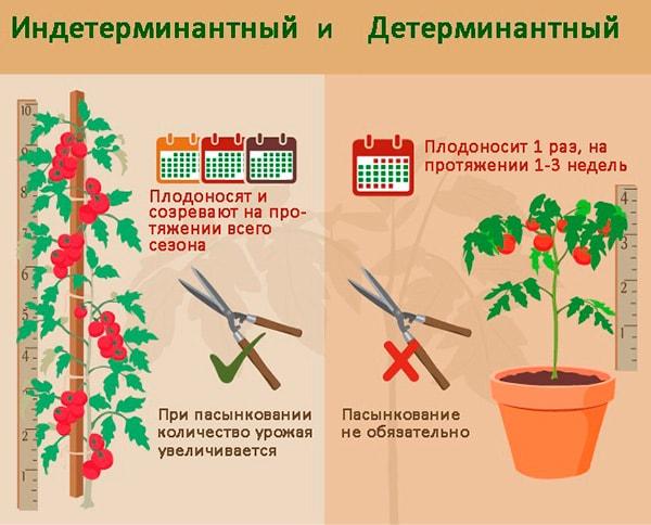 сравнение-детерминантных-томатов-фото