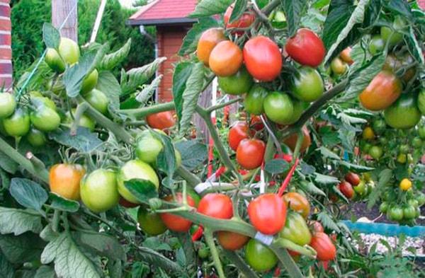 томат-большая-мамочка-фото