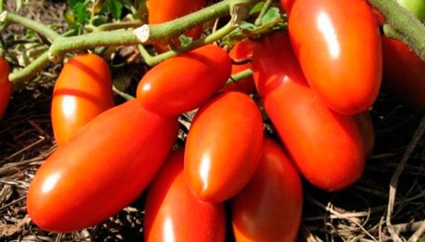 томат-новичок-фото