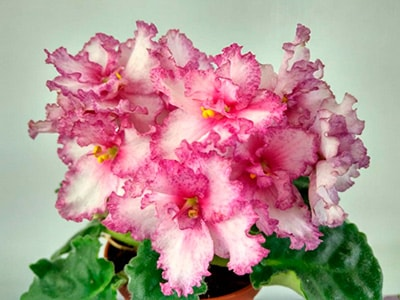 цветущая-фиалка-пересадка-фото