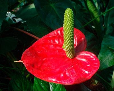 цветы-антуриума-фото