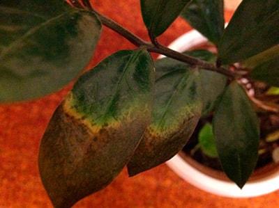 у-замиокулькаса-вянут-и-сохнут-листья-фото