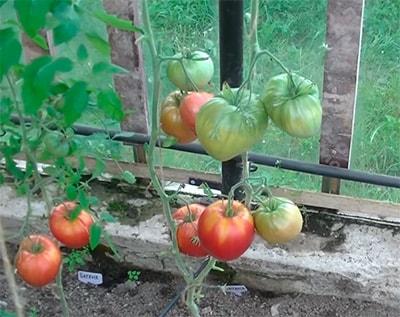 Батяня-сорт-помидор-фото