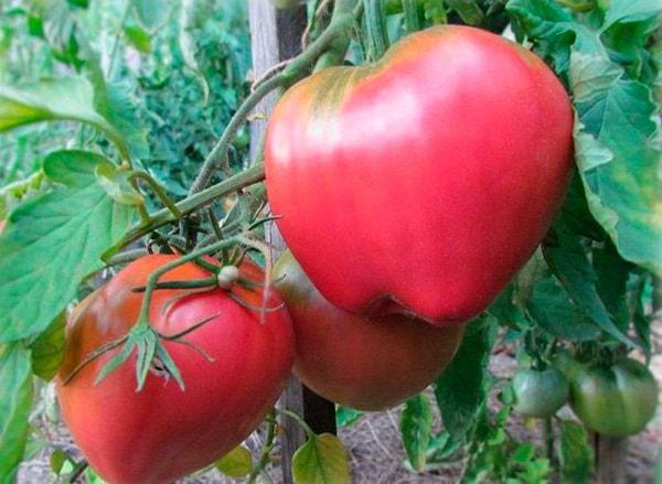 как-выглядит-сорт-помидор-батяня-фото