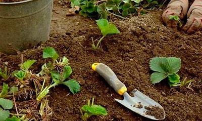подгатавливаем-почву-для-клубники-фото