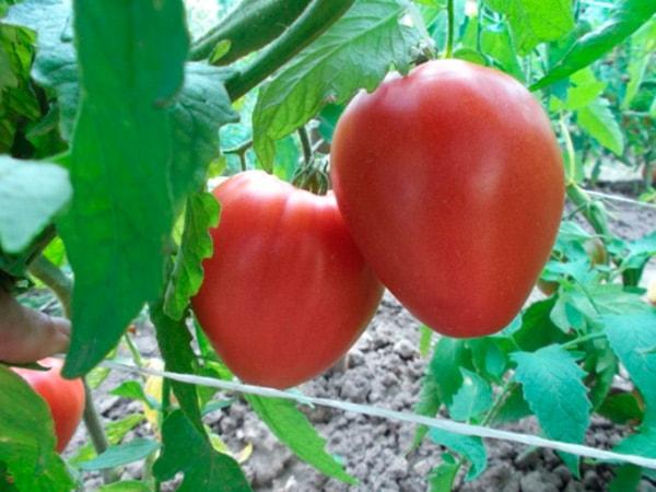 помидоры-батяня-фото