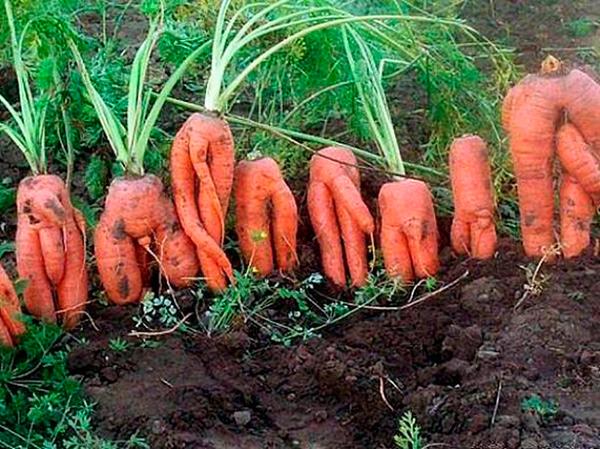 Как выглядит корявая морковь фото