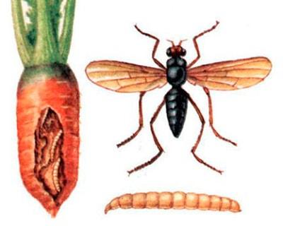 как-выглядит-морковная-муха-фото