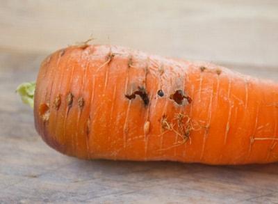 повреждения-от-морковной-мухи-фото