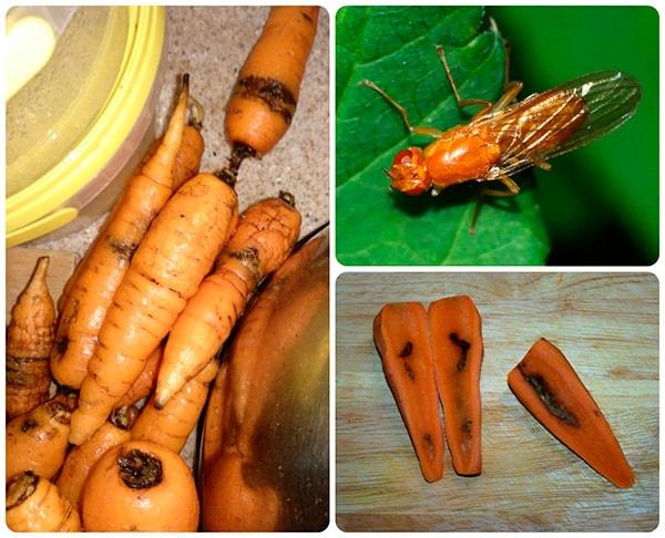 вредитель-морковная-муха-фото