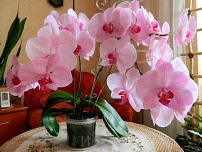 Куда ставить орхидею