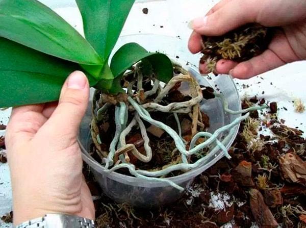 посадка орхидей