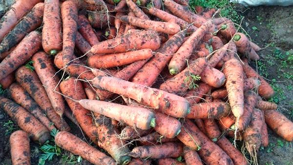 Хранение моркови на грядке