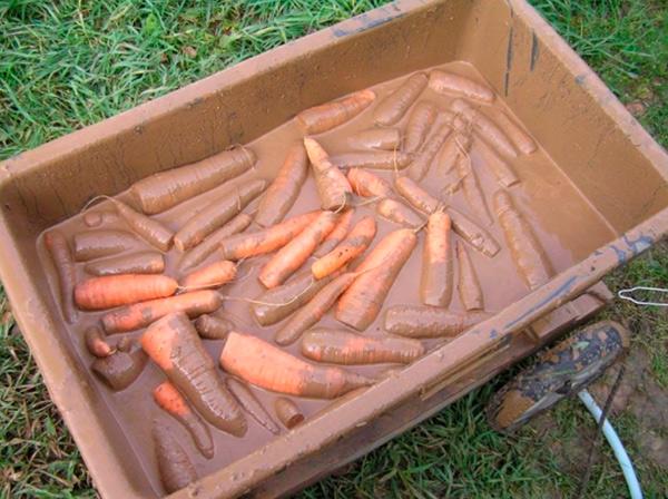 Как хранить морковку в глине