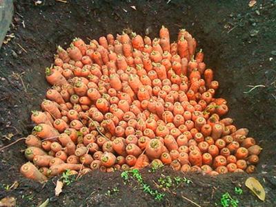 подготавливаем морков к хранению