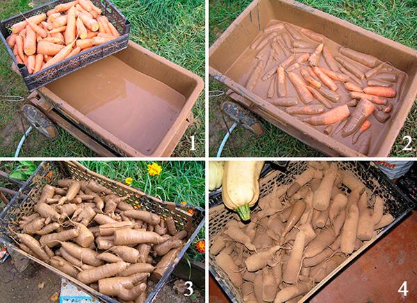 Хранение моркови в глине